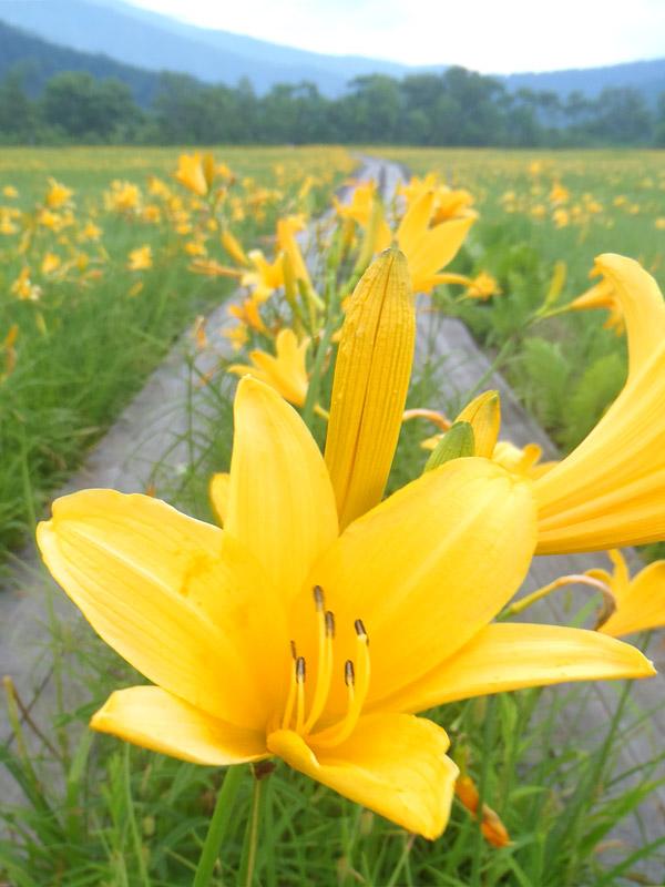 尾瀬に咲く花 夏に咲く花78月 花図鑑